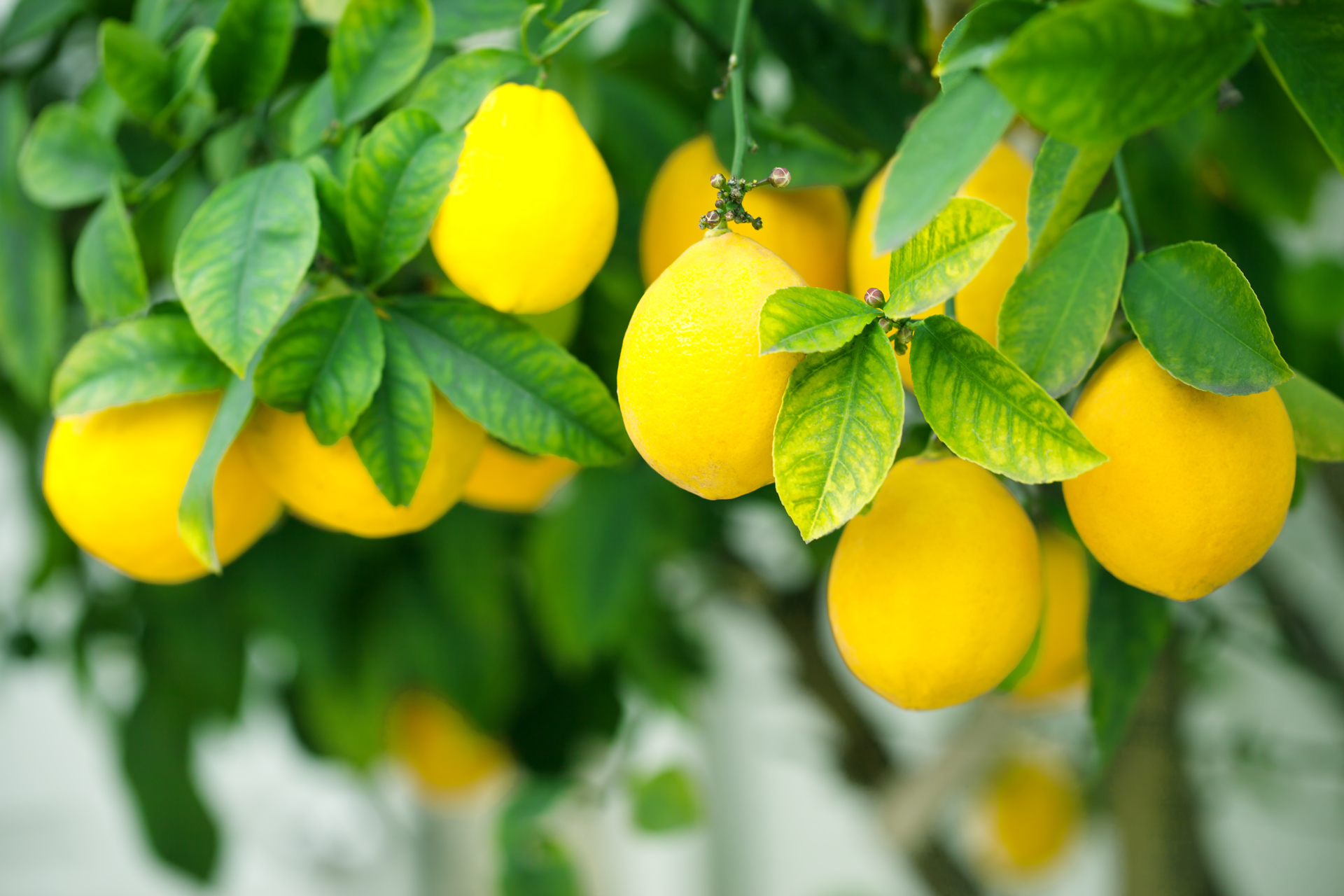 4 Lemon Diffuser Blends to Help You Smile, Focus, Energize, and Refresh