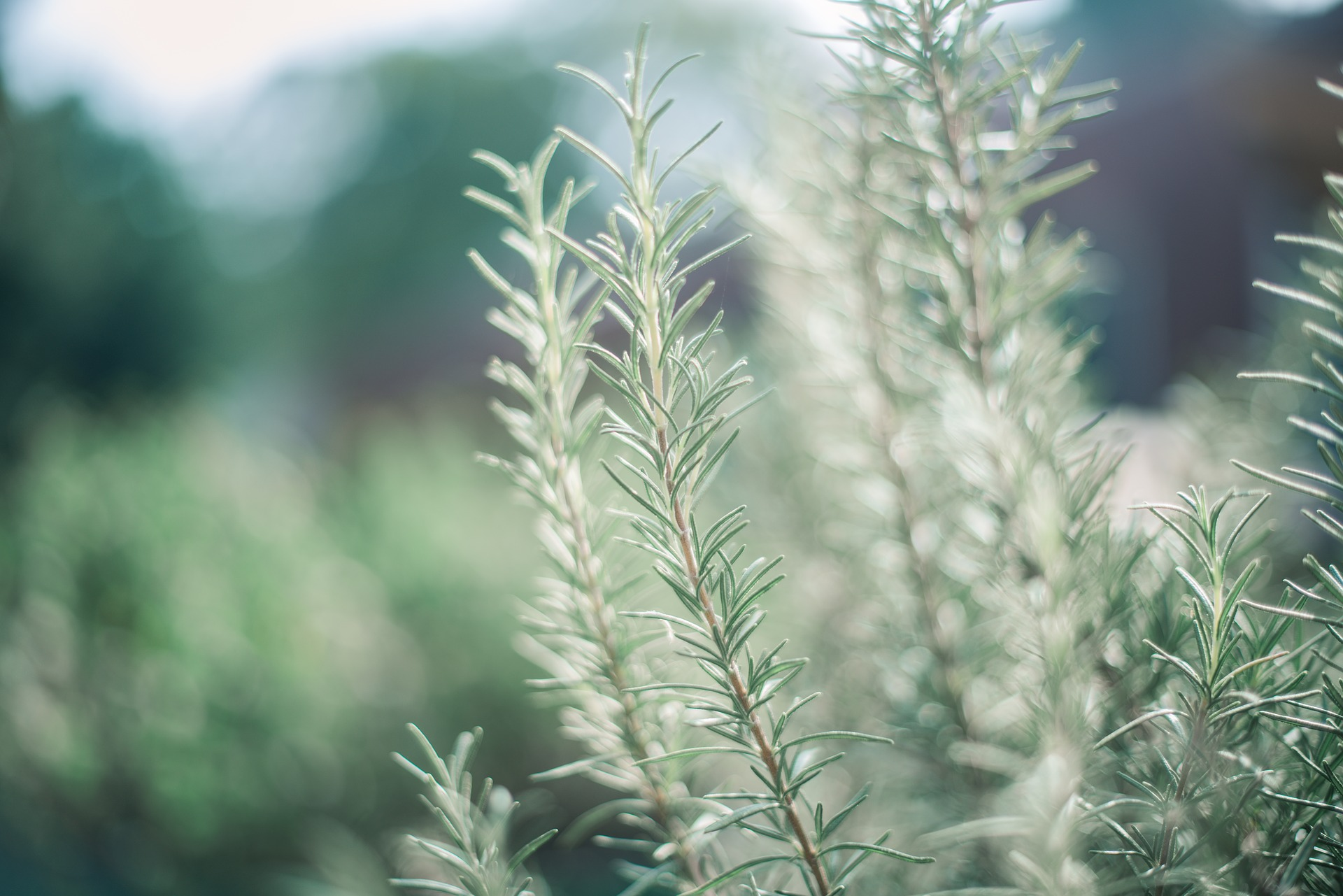 4 Rosemary Oil Diffuser Blends to Boost Your Brain