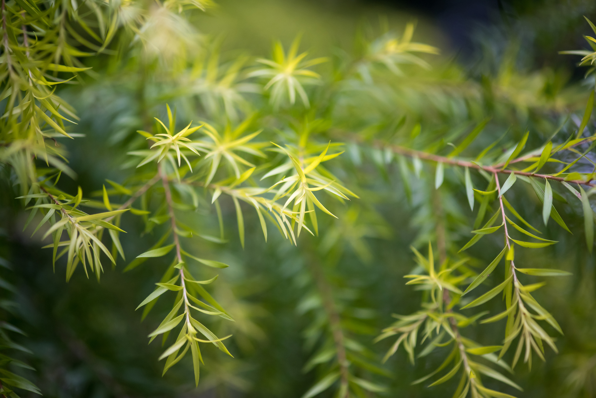 5 Tea Tree Essential Oil Diffuser Blends to Support The Immune System